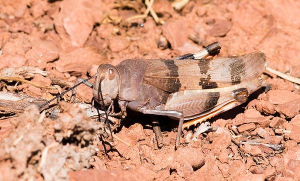 Hadrotettix trifasciatus  (Three-banded Grasshopper)