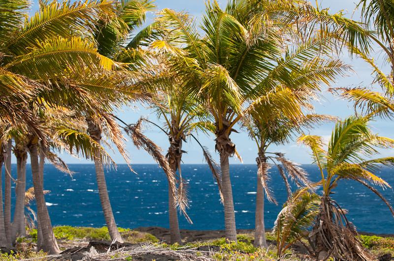 Hawaii Palms 10
