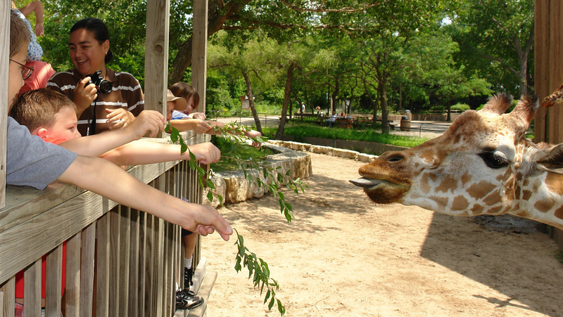Feeding the giraffes - 1