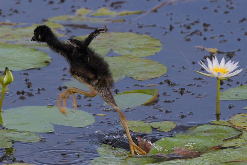 zAnahuac, card 1, 8-10-2014 445A, PG chick jumping from Lily (1 of 1).jpg