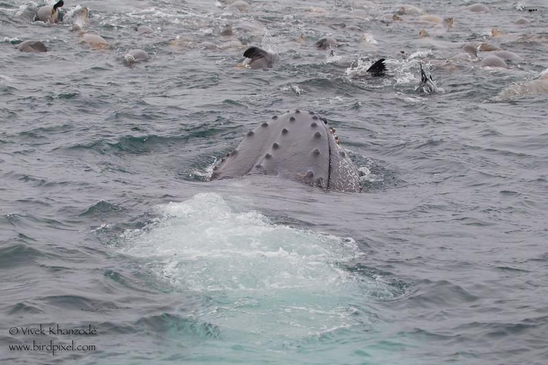 Humpback Whale blow hole close up - Near Moss Landing, CA, USA
