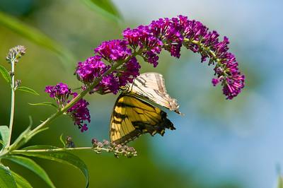 Butterfly's - July_18_2010