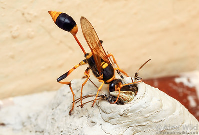 """""""Apoid Wasps"""""""
