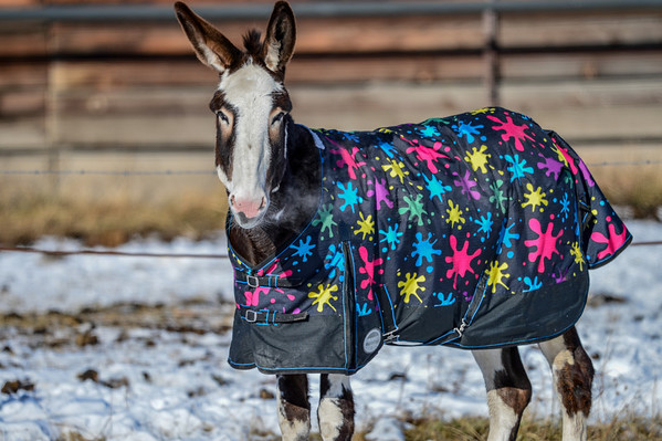 11 2013 Nov 11 Colourful Mule & Horse*^