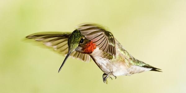 Hummingbirds 6-17-12