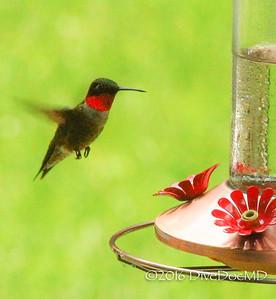 2016_08_07 hummingbirds