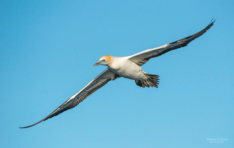 Australasian Gannet, Wollongong Pelagic, NSW, Aus, Jul 2013.jpg