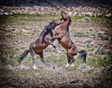 Nevada Wild Mustangs