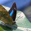 The Butterfly Farm 2011 : The Butterfly Farm in La Guacima, a neighborhood of Alajuela in Costa Rica, is an amazing little place. We had an entire day to spend before our red-eye flight home, so we decided to try it out, and it was a wonderful way to spend the afternoon. Hundreds of butterflies surrounded you and occasionally landed right on you. The farm specializes in propagating butterfly pupae for shipment to museums and botanical gardens all over the world. Definitely worth a trip when you're in Costa Rica!