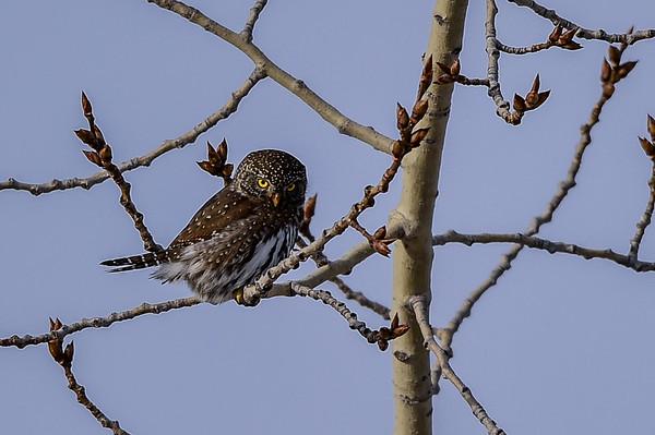 1-9-15 Northern Pygmy Owl III