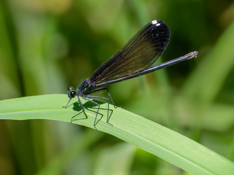 Ebony Jewelwing (Calopteryx maculata), Female