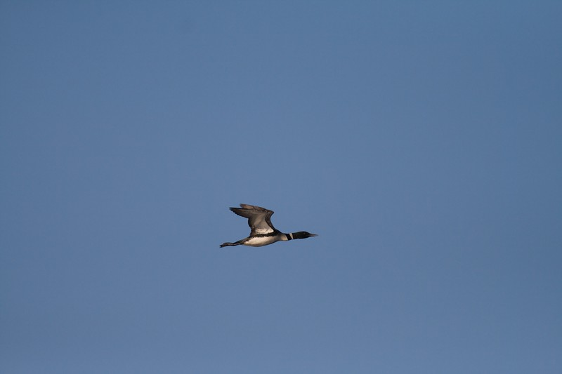 Though unable to walk on land, Common Loons can fly at over 100 mph! [August; BWCAW Northern Minnesota]