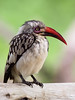 Male Southern Red-billed Hornbill