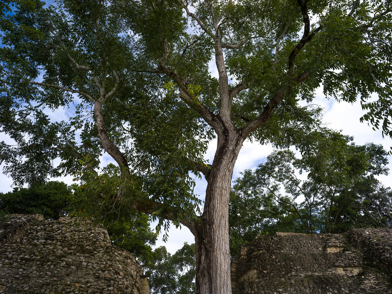 Low angle view of tree at Ancient Mayan Archaeological Site, San Jose Succotz, Cayo District, Belize