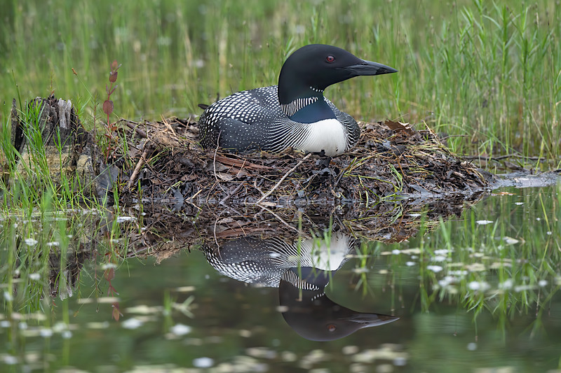 #1242 Common Loon