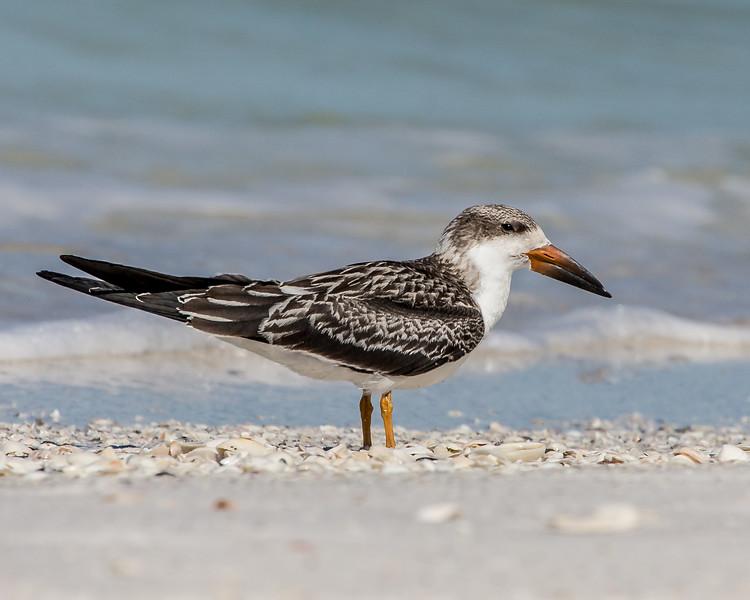 A juvenile Black Skimmer