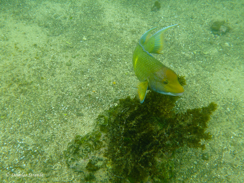 A parrotfish at Cormorant Point, Floreana Island