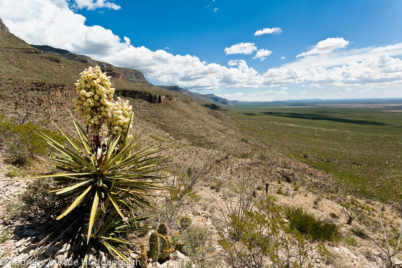 Blooming Yucca at Oliver Lee Memorial State Park, New Mexico