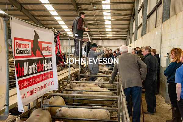 MTH Market Drayton spring lambs April 2019