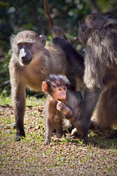 Small family of baboons with small baby in front.