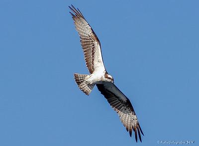 Rovfugler / Raptors