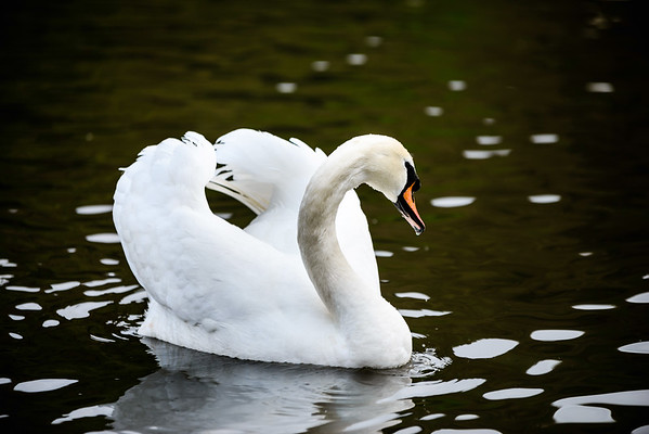 Mute swan looking majestic