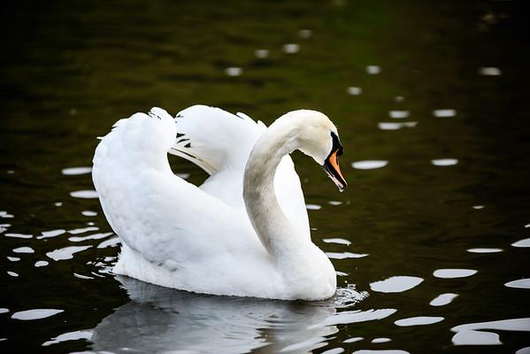 Mute swan looking majestic