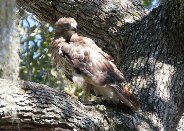 Birds of Prey on Wilmington Island
