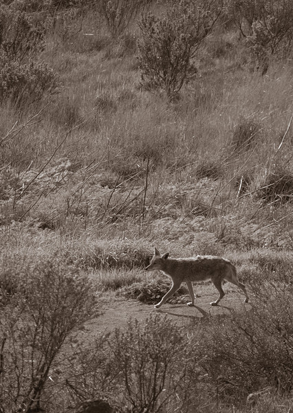 Scampering Coyote