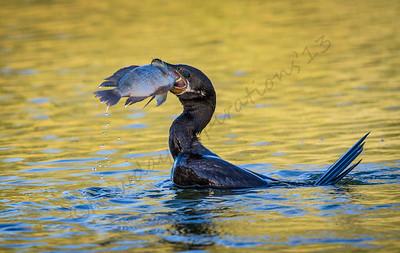 Sea birds-Cormorants, Pelicans, Terns