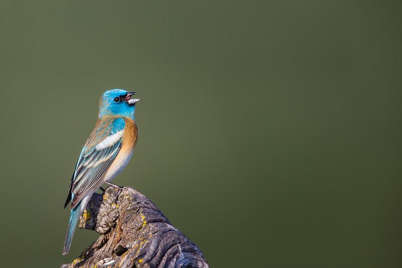 Lazuli Bunting - Male -  Los Altos, CA, USA