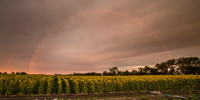 Sunflower field on a gorgeous stormy evening in Vacaville  While I was facing the sunflowers a beautiful (double) rainbow came out behind us!