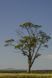 A single tree with Pen-y-gent rising above the horizon.