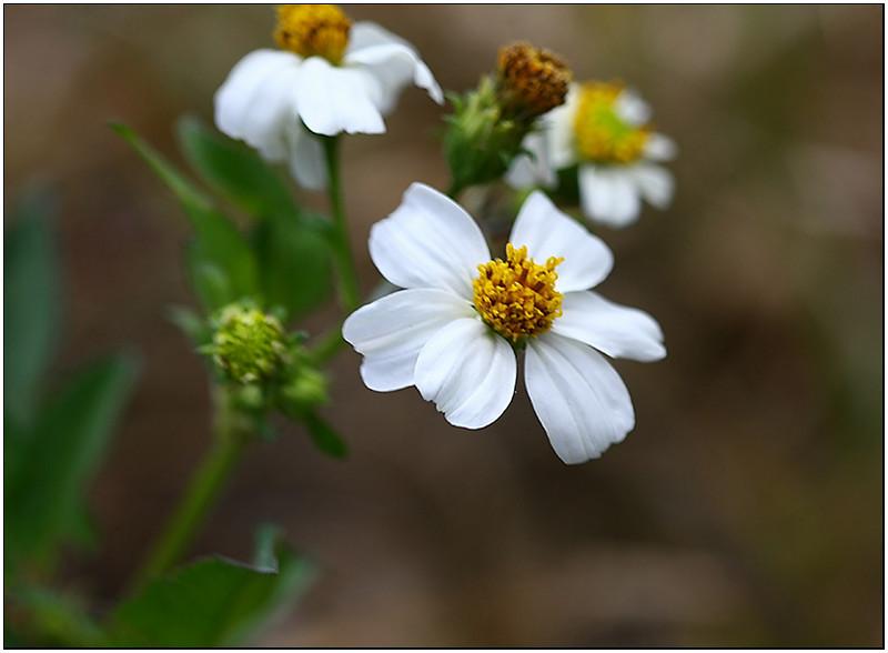 IMG_2189-dpc-daisy.jpg