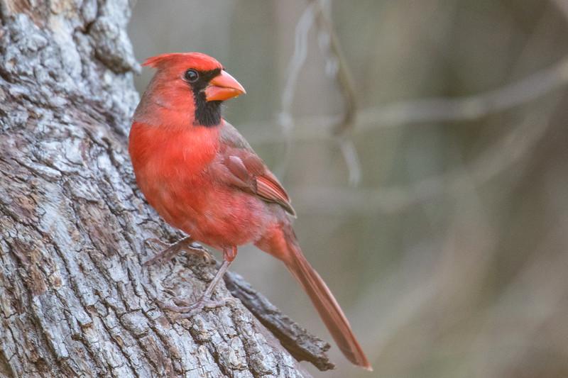 Northern Cardinal Aransas TX 2020-3.jpg