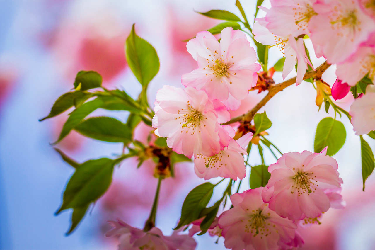 樱花,粉红淡雅