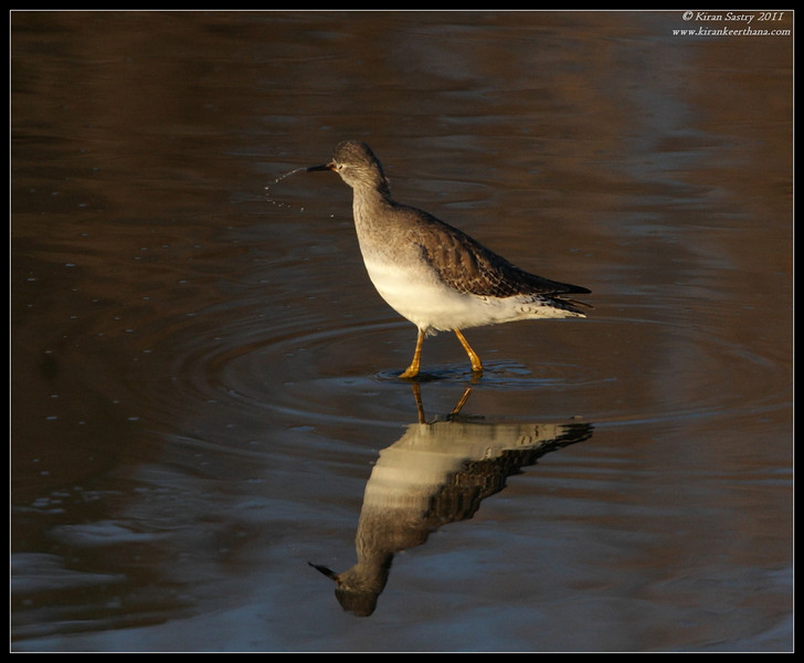 Lesser Yellowlegs, San Elijo Lagoon, Rios Ave, San Diego County, California, December 2011
