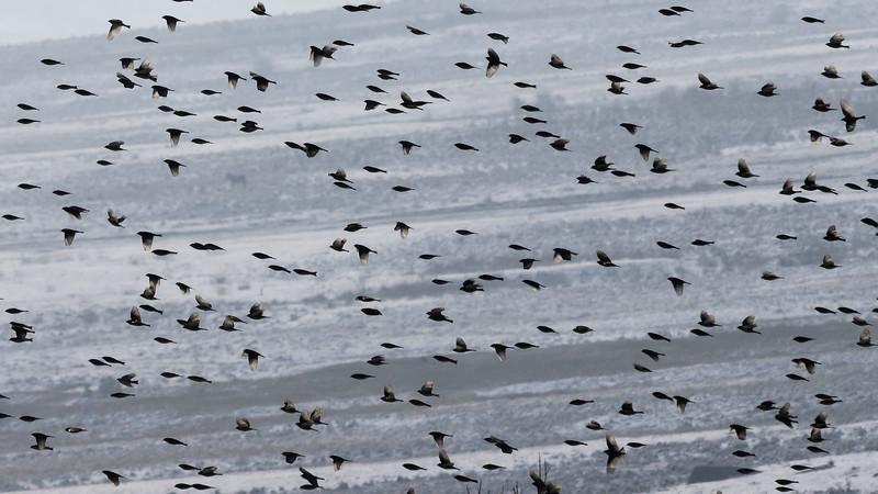 Larks-flock-phobjika-bhutan.jpg