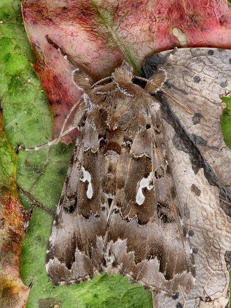 Caramel Looper Moth