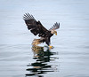 Immature eagle doing its best