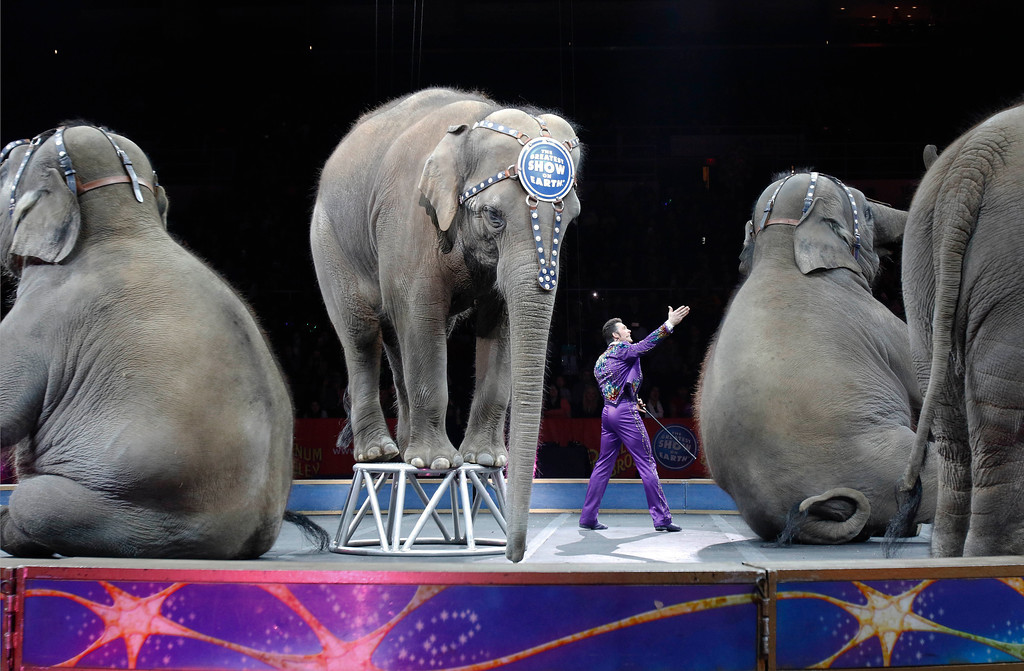 . Asian elephants perform for the final time in the Ringling Bros. and Barnum & Bailey Circus Sunday, May 1, 2016, in Providence, R.I. The circus closes its own chapter on a controversial practice that has entertained audiences since circuses began in America two centuries ago. The animals will live at the Ringling Bros. 200-acre Center for Elephant Conservation in Florida. (AP Photo/Bill Sikes)