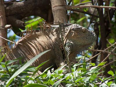 I Guanna an Iguana