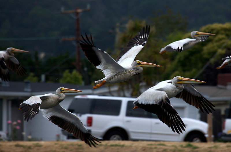 White Pelicans in the neighborhood
