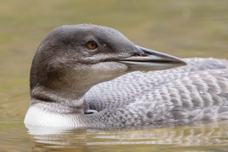 #1511 Common Loon Chick