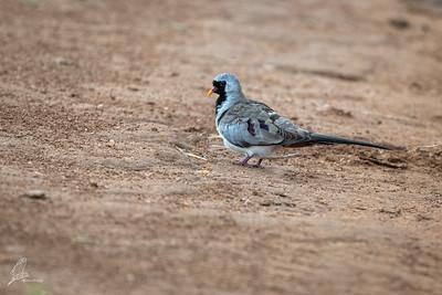 Dove, Namaqua