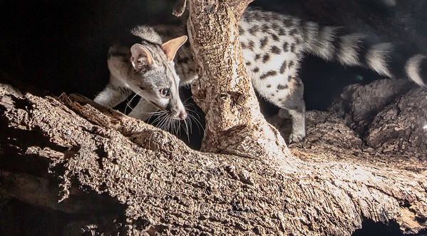 Genets_Camtraption