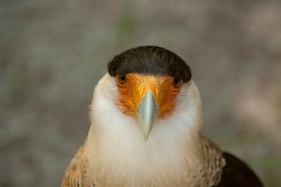 Hawks, Crested Caracaras, & Vultures