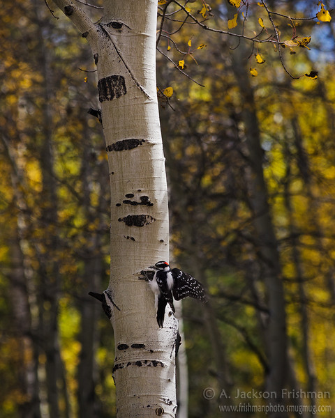 Woodpecker and fall aspens in New Mexico's Cruces Basin Wilderness, September 2012.