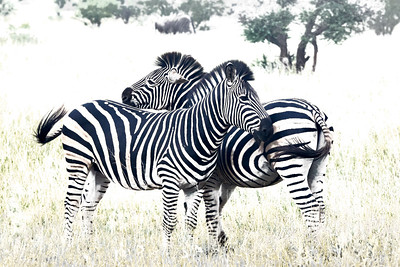 Zebra Black on White