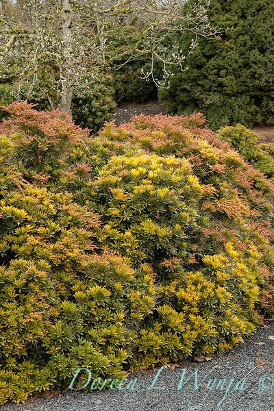 Pieris japonica 'Prelude' in winter_0554.jpg